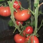 гигантское томатное дерево (1)