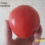 гилдо петробони1 (3)