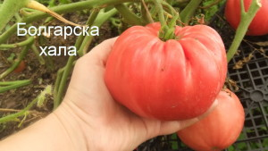 болгарска хала (5)