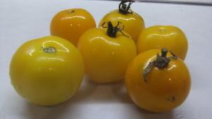 желтая лапа кенгуру (2)