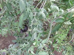золотая лесная яблоня (4)