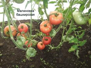 малиновка башкирская (2)