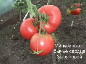 минусинское бычье сердце Зыряновой (3)