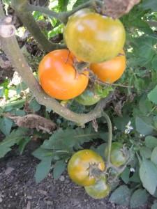 оранжевый пикси (3)