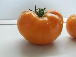 саяногорский великан оранжевый (3)