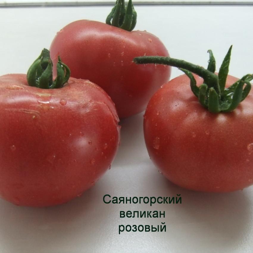 саяногорский великан розовый (5)