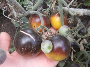 золотая лесная яблоня (2)