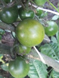 злая маслина (1)