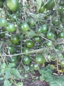 злая маслина (3)