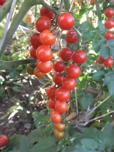 красный ягоды ивы (1)