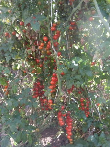 красный ягоды ивы (2)