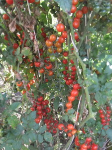 красный ягоды ивы (3)