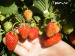 Земляника 2014 г.